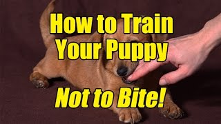 How to Train a Puppy Not to Bite!