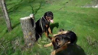 Собака ротвейлер,  зеленая трава или о том, что собаки тоже любят щипать зелень(А собаки то тоже любят пастить по свежей траве)))), 2016-04-16T13:49:58.000Z)