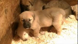 Puppies: Livestock Guardian Dogs, Anatolian + Akbash
