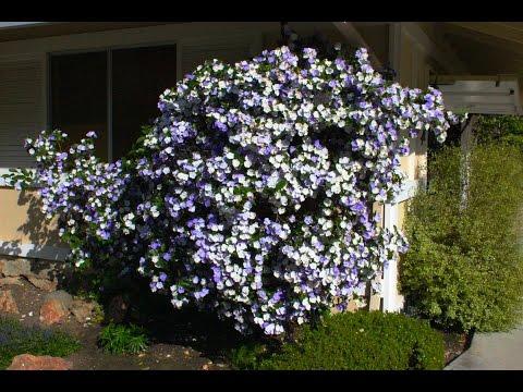 Brunfelsia pauciflora 'Floribunda'  - Yesterday Today & Tomorrow