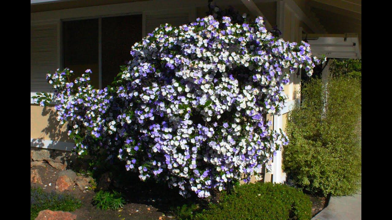 Brunfelsia Pauciflora Floribunda Yesterday Today Tomorrow