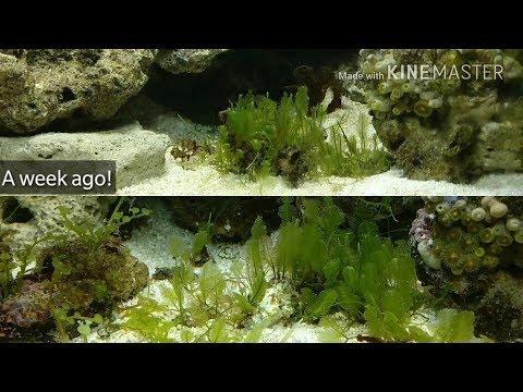 Macro Algae Update 3.. Its Growing FAST!!!!
