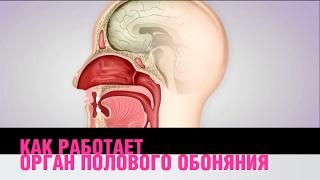 Как работает орган полового обоняния