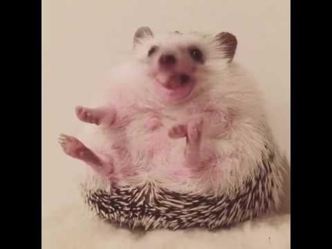 Hedgehog Azuki Eating His Favorite Snack