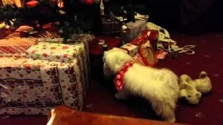 Benjamin The Maltese Wants Wine For Christmas