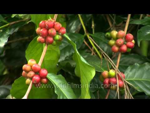 One of the finest ripe coffee berries in Karnataka