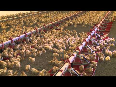 Tour a Willamette Egg Farms Organic Brooder House