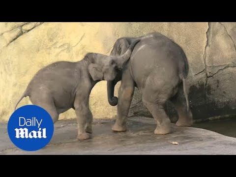 Ashley - LOL! Elephant calf tries to push his big brother into the water