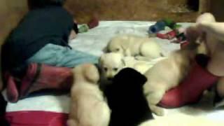 Black & Yellow Labrador Retriever Puppies