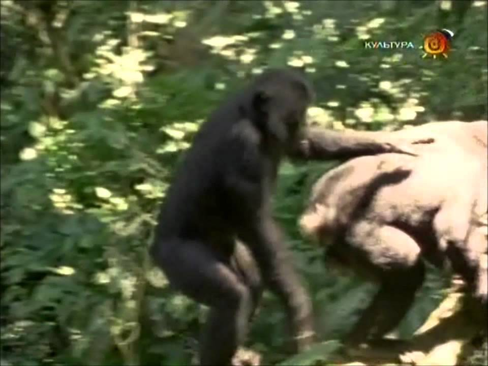 Girl has sex with chimpanzee free streaming — pic 13