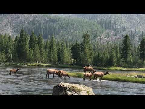 Elk crossing the river in Yellowstone National Park 2018