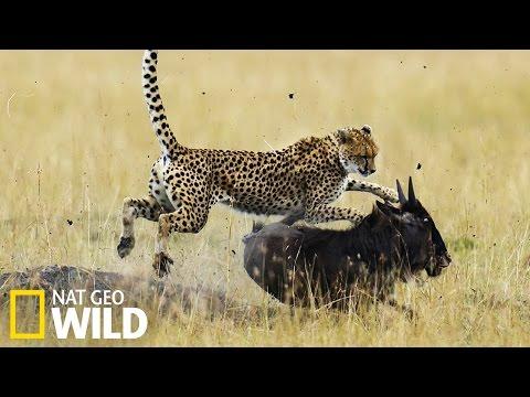 Guépard qui chasse - Nat Geo Wild