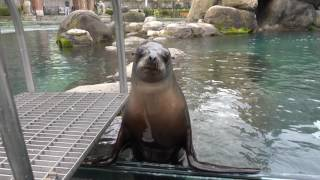 Crazy Angry Sea Lion   NYC Central Park Zoo