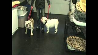 Aggressive English Bulldogs - Dog Training Transformation - Dctk9
