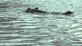 California Sea Lion Preying On Chinook Salmon
