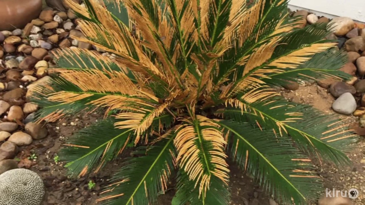 Why Browned Leaves On Sago Palm Daphne Richards Central Texas