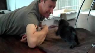 Black Pug Puppy, Eight Weeks Old