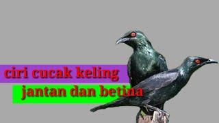 Cara Membedakan Burung Cucak Keling Jantan Dan Betina