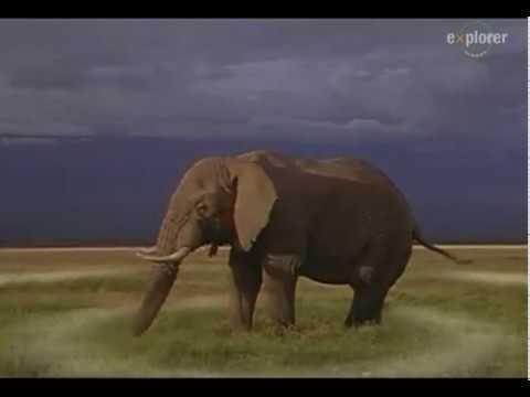 Как кричат слоны звук