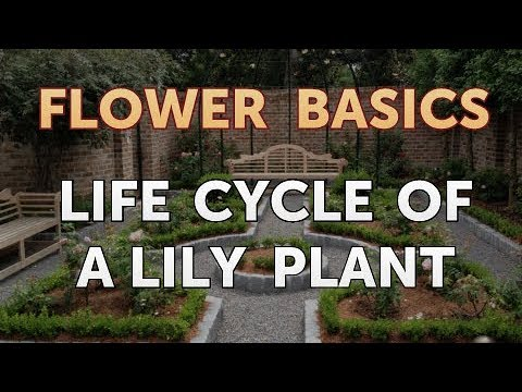 Life Cycle Of A Lily Plant Youtube