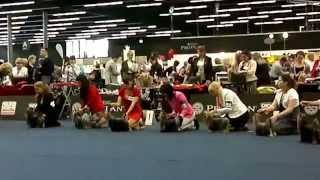 World Dog Show 2012 /wds2012/ Yorkshire Terrier Male Intermediate Class