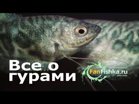 ГУРАМИ содержание и уход в аквариуме, виды, совместимость, разведение и нерест!
