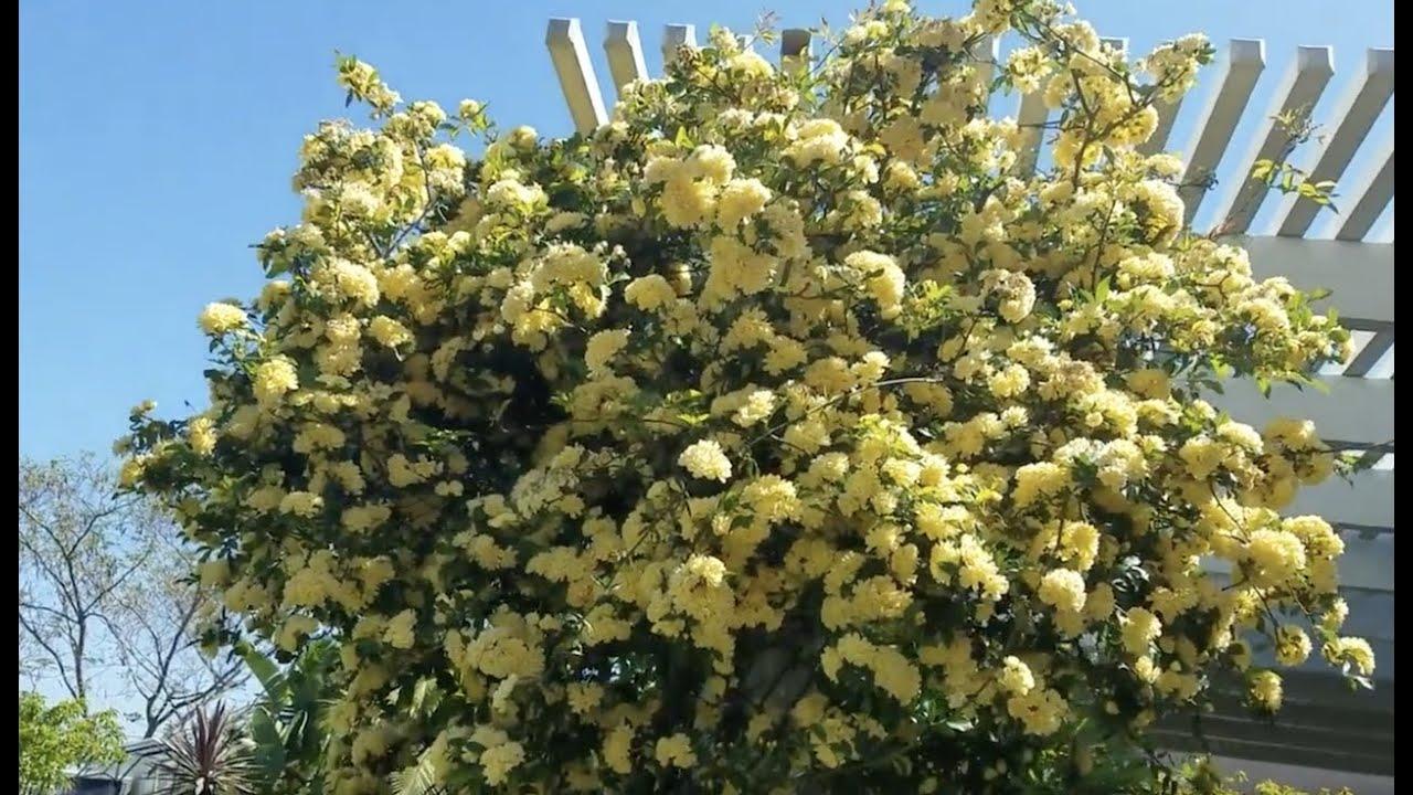 Бонсай в Сан Диего и наш сад ч.1 #ТолькоСанДиего