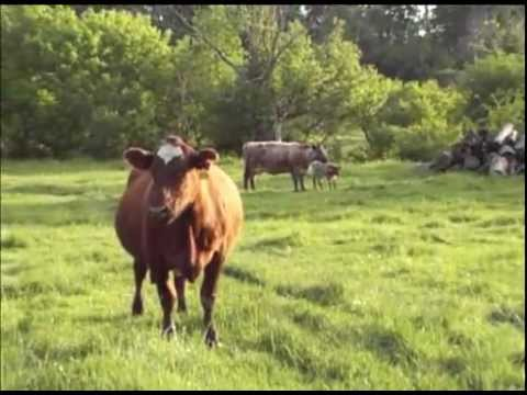Healthy Cattle in Pasture