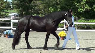 Tabitha ISF. 2014 KFPS Friesian Mare by Brend 413, Sport, out of Cl...
