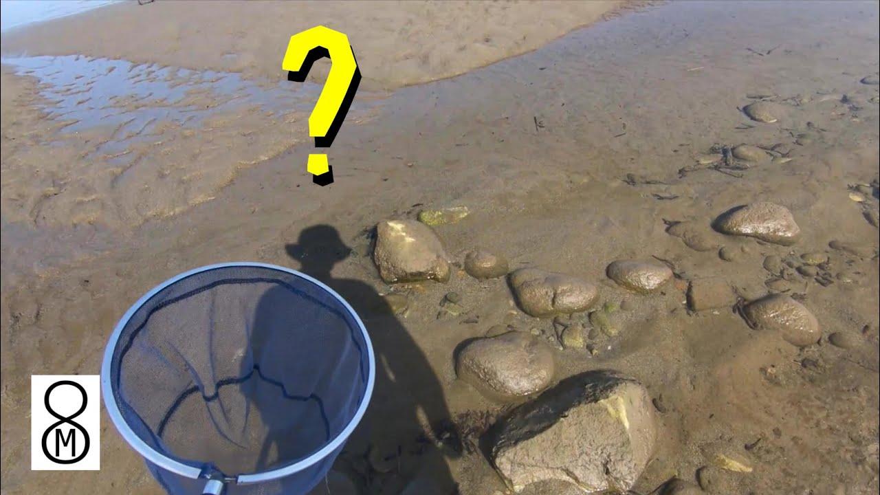 大きな川の河口、激浅の水際でガサガサ。捕れたのは…?