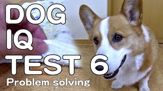 The Canine Iq Test 6 Problem Solving 犬のiqテスト6 問題解決能力 Goro@welsh Corgi コーギー Dog K9