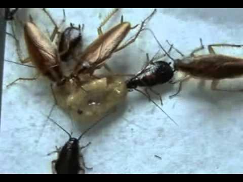 Cucarachas ponen huevos y mudan de piel 904 doovi - Como eliminar los mosquitos de mi casa ...
