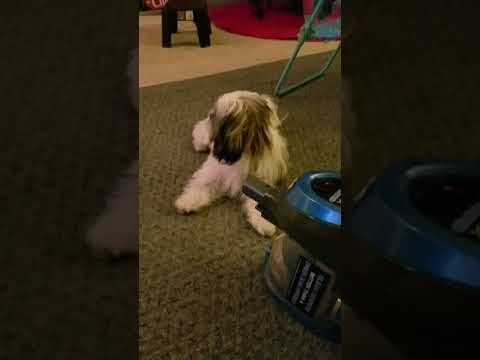 Shih Tzu puppy vs vacuum cleaner.