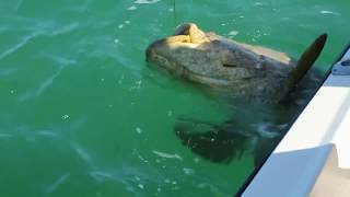 Giant 250 kg - Monster Goliath Grouper
