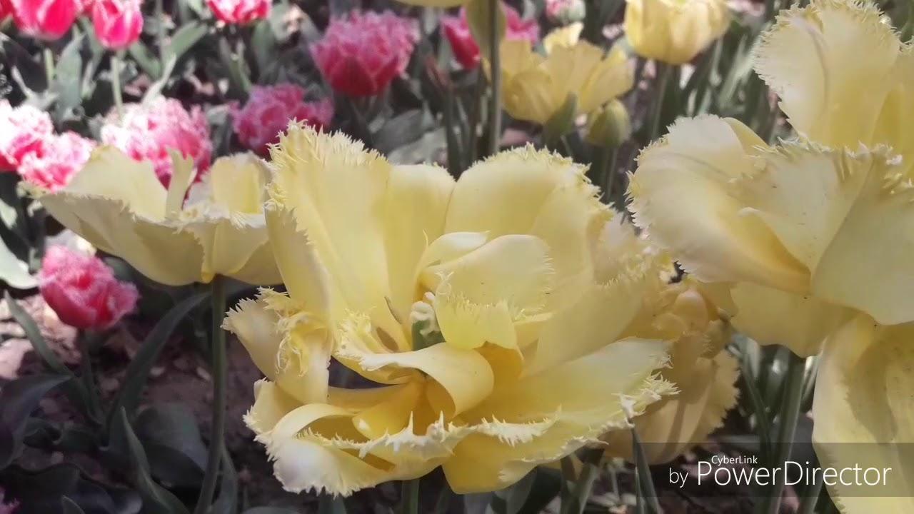 Букеты с тюльпанами и другими весенними цветами оригинальное решение!. Всегда купить тюльпаны наивысшего качества, выращенные в украине.