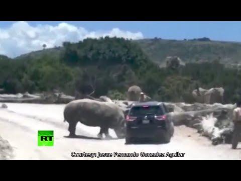 RAW: Rhino rams SUV at Mexico zoo