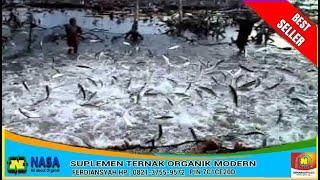 vuclip teknis ternak ikan bandeng di tambak berhasil dengan bagus