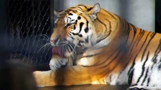 猫みたいに毛繕いする虎です。ネコ科の動物の中で最大。 It is a tiger ...