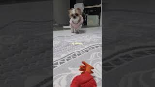 닭을 사수하라! 닭 사냥하는 시츄(?)