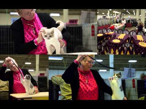 CFA San Diego Cat Show January 2013