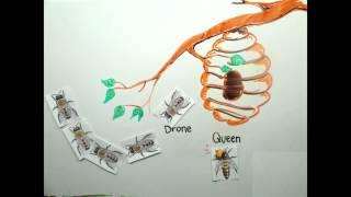 DNA methylation in Honeybees