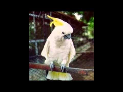 Suara Burung Kakak Tua Jawara
