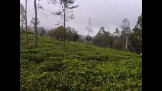 Tea Plantation in Bandarawela, Sri Lanka