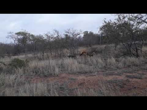 Wild Dogs Killing A Impala #DeepWildLife #SabiSands