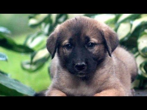 60 Seconds Of Cute Anatolian Shepherd Puppies!