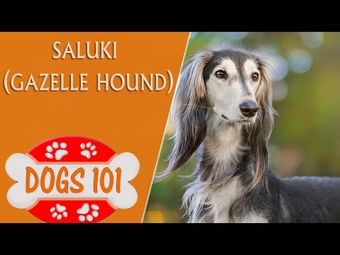 Dogs 101 - Saluki - Top Dog Facts About the Saluki