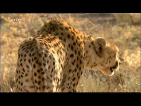 guepard asiatique reportage sur Arte Iran