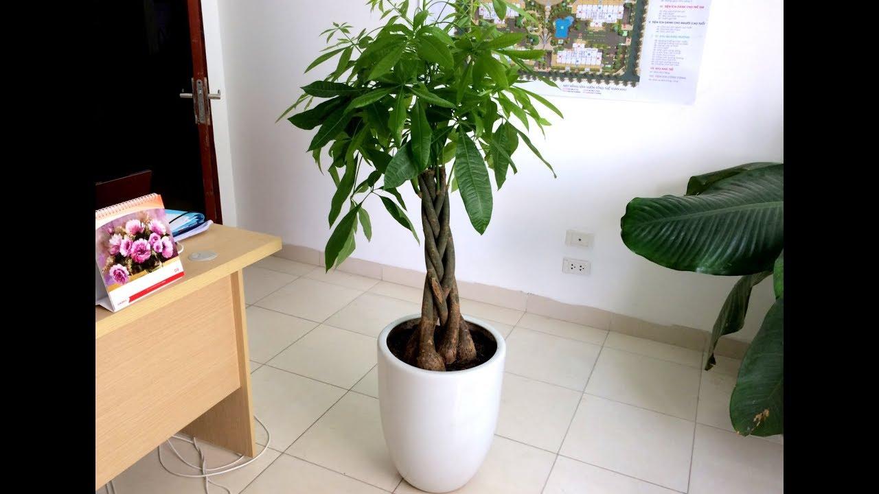 Cây Kim Ngân và hướng dẫn chăm sóc - Happy Garden
