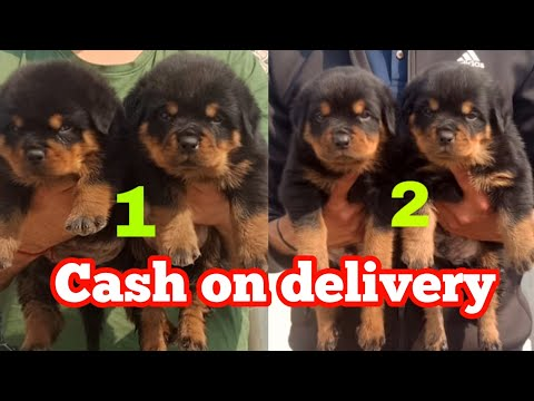 Best quality Rottweiler puppies on cash on delivery