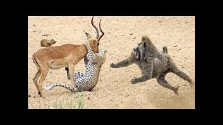 #animalsave #life #king Animal save the life of animals | the monkey saved the beer from the leopard